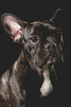Abby - French Bulldog Pet Portrait
