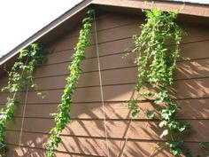 A hop garden brings years of hops supply, fragrant hop cones and towering hop bines make them an impressive plant. Growing Hops, never a dull moment. Hops Trellis, Hops Plant, Beer Hops, Home Brewing Beer, Gnome Garden, Outdoor Fun, Outdoor Spaces, Shade Garden, Craft Beer