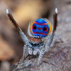 Peacock Spider | X8A2616 peacock spider Maratus speciosus | Flickr - Photo Sharing!