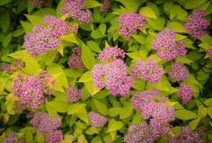 Limemound Spirea. Full Sun.  Even novice gardeners can get these foolproof varieties to grow in Denver's semi-arid climate.