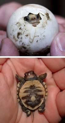 Baby turtle meets the world