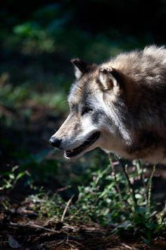 "nature-planet: "" Wandering Wolf by Karol Livote """