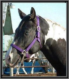 Royal Apache Tears. American Paint Horse.