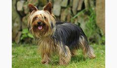 Yorkshire Terrier (vetstreet.com)