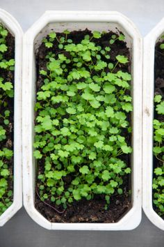 seedlings of strawberries in a white rectangular plastic container