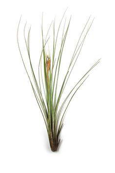 Air Plant  Juncea Air Plants  Set of 5   by AirPlantDesignCenter