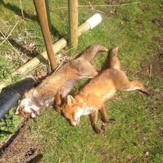 Good day today! Total of 9! #countrylife #pestcontrol #gamekeeping #rurallife #fox #vixen #dog #shooting #shotgun #terrier #keephunting #countryboy #youngfarmers #charlie by lordsonnyrhyssmith