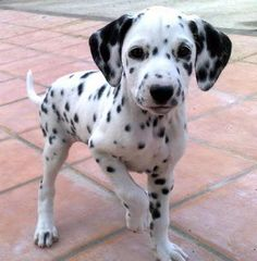 Take a hike✨ Cute Dogs And Puppies, Baby Dogs, I Love Dogs, Corgi Puppies, Beautiful Dogs, Animals Beautiful, Cute Baby Animals, Animals And Pets, Dalmatian Dogs