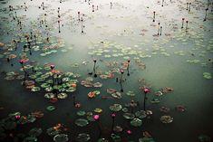 beautiful ...  Looks like a Monet photograph.  Water lilies.