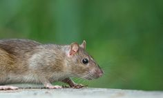 The mouse symbolism as an animal totem has ranged from adaptability and hypervigilance to modesty and innocence. Animal Meanings, Animal Symbolism, Astrology Today, Create A Map, Animal Totems, Spirit Animal, Rats, Meant To Be, Symbols