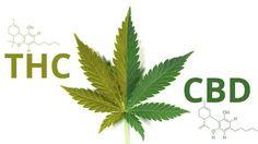 THC olie kopen? Wat is THC olie precies, illegaal? verslavend? Wij geven graag antwoord op deze vragen. Lees alles over THC olie en CBD olie.