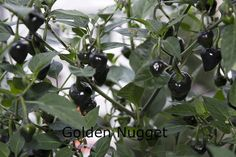 Papriky a chilli Fruit, Plants, Life, Cactus, Plant, Planets