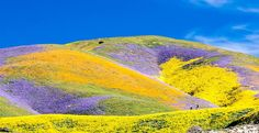 "A winter of heavy rainfall in California meant this year's flowers are even more vibrant—and they have spread to new locations. California's ""Super Bloom"" has traveled north of L.A. this year to the Carrizo Plain.  Photo: Courtesy of the Bureau of Land Management"