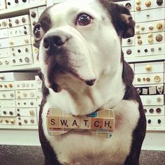 Swatch from Mood Boston terrier