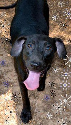 Maddie •  Black Labrador Retriever Mix • Young • Female • Large •  Cenla Alliance for Animals  • Pineville, LA