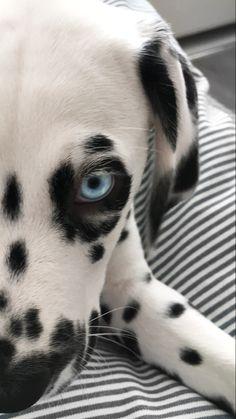 Blue eyed dalmatian❤️
