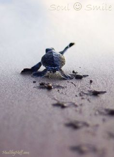 Baby Ocean Turtle struggling to get to the ocean to survive. - Baby Ocean Turtle struggling to get to the ocean to survive. Small Turtles, Baby Sea Turtles, Cute Turtles, Ocean Turtle, Turtle Love, Cute Baby Animals, Animals And Pets, Funny Animals, Beautiful Creatures