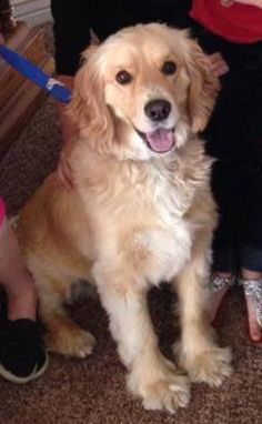 Golden retriever cocker spaniel mix. Cute Cats And Dogs, Cute Dogs And Puppies, Baby Dogs, Golden Cocker Retriever, Golden Retrievers, Cocker Spaniel, Shedding Dogs, Designer Dogs Breeds, Scruffy Dogs