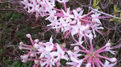 Wild Azalea Phlox Pink.  Be sure to visit the website to see more more pictures of this this beautiful bloom!