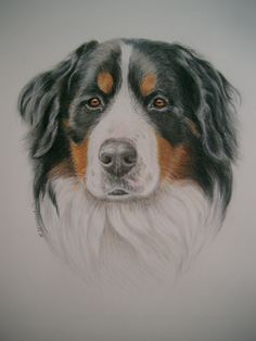 Bernese Mountain Dog done in watercolor/colored pencil- commissioned canine fine art