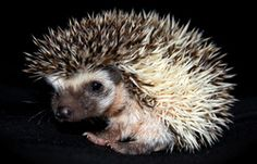 "hedgehog ""Rex"" Hedgehog, Super Cute, Pictures, Animals, Animais, Animales, Photos, Animaux, Photo Illustration"