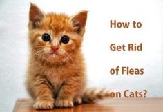 How to Kill Roaches Fast? My Cat Has Fleas, Fleas On Kittens, Cat Fleas, Baby Kittens, Cats And Kittens, Home Remedies For Fleas, Flea Remedies, Natural Remedies, Flea Medicine For Kittens