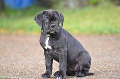Pup Kane Korso, Cane Corso Puppies, Puppys, Pitbulls, Dogs, Animals, Cubs, Animales, Pit Bulls