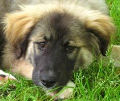 Leon is an adoptable Leonberger Dog in Monroe, NC. Leon is a 10 week old puppy who is a high mix Leonberger and looks almost purebred. This hefty boy is going to be huge and already weighs 22 lbs. Le...