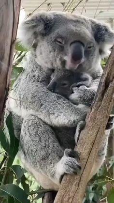Funny Animal Videos, Cute Funny Animals, Cute Baby Animals, Animals And Pets, Funny Pets, Happy Animals, Animals Of The World, Farm Animals, Baby Koala