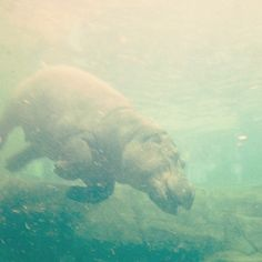 ざっぱーーーん3  半年ぶりのカバの百吉、すごく大きくなってるww Polar Bear, Instagram Posts, Animals, Animales, Animaux, Animal, Polar Bears, Animais
