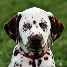 """""""My name is Vienna ❤️ I'm a sweet and joyful 2-month """"old"""" dalmatian puppy with chocolate spots 🐾"""" writes @viennathedal #dogsofinstagram #cats #L4L #instagood #F4F #dog"""