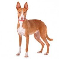 #dogalize Razas de Perros: Podenco canario caracteristicas #dogs #cats #pets