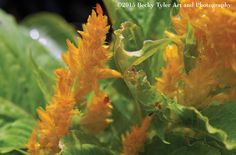 Yellow Celosia Fine Art  Photo Print by BeckyTylerArt on Etsy