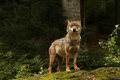 Wolf Bayerischer Wald 2014 by Will de Kleijn - Photo 81335227 / 500px