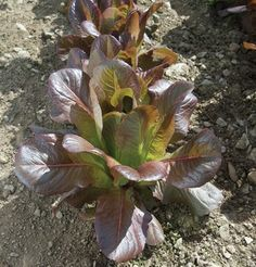 Lettuce Rouge D'Hiver (Redish) 1000 Organic Heirloom Seeds by David's Garden Seeds Growing Gardens, Growing Plants, Garden Seeds, Planting Seeds, Easy Garden, Lawn And Garden, Lactuca Sativa, Lettuce Seeds, Growing Lettuce