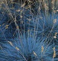 festuca glauca elijah blue fétuque bleue pot 2L