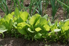 If you're new to gardening, you want to know what vegetables grow in shade. One kind that does well in partial shade is leafy greens. Other shade vegetables prefer partial sun. Ants In Garden, Fruit Garden, Vegetable Garden, Herb Garden, Organic Gardening, Gardening Tips, Balcony Gardening, Garden Landscaping, Planting Potatoes