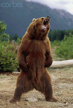 Growling Brown Bear in Chilkat Valley, Alaska