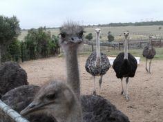 West Coast Ostrich Farm