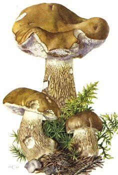 1961 Tylopilus Felleus or Boletus Felleus Mushroom Vintage Offset Lithograph. $16.95, via Etsy.