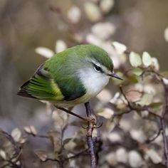 Male Rifleman (Acanthisitta chloris) (Māori: Tītipounamu) is a small insectivorous passerine bird that is endemic to New Zealand. Cute Birds, Small Birds, Pretty Birds, Little Birds, Colorful Birds, Beautiful Birds, Green Birds, New Zealand Tours, New Zealand Art