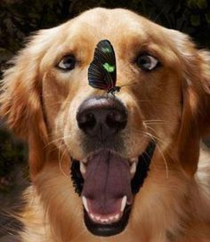 Butterfly and Golden Retriever. I think my heart just exploded.