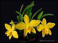 Sophronitis coccinea v. Aurea.  Uma orquídea espécies (cor)