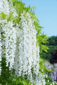 Best Wisteria tree ideas that you will like on . Planting Flowers, White Flowers, Garden Trellis, White Gardens, Beautiful Flowers, Moon Garden, Wisteria Tree, Flowers Nature, Trees To Plant