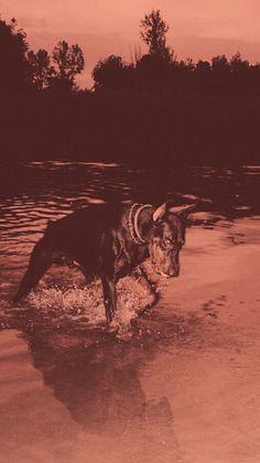 Doberman Pinscher Dog, Doberman Dogs, Dobermans, Dobermann Tattoo, Black Doberman, Wallpapers En Hd, Scary Dogs, Dog Wallpaper, Pet Grooming