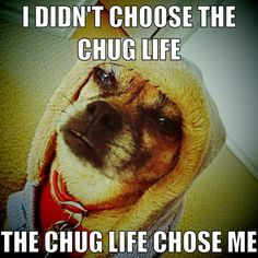 The chug life...  (Chihuahua and pug mix).