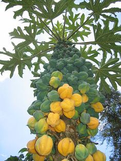 File:Mountain papaya (Vasconcellea pubescens) so much fruit
