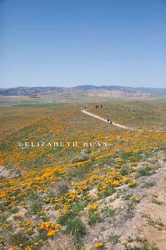 Antelope Valley Poppy Fields | Lancaster, California  #nature #flowers #California