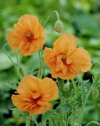 papaver rupifragum double tangerine gem. Flowers May to August. Sun to partial shade.  Hardy perennial. Divide in March. Cut back in early Autumn, after flowering (optional).