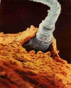megutron: A sperm entering an egg cell.